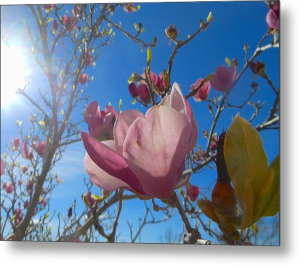 Magnolia Tree 1 Metal Print