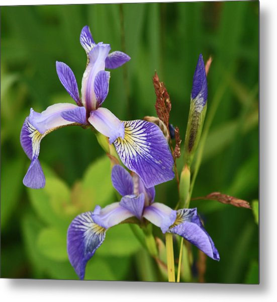 Maine Wild Iris Metal Print