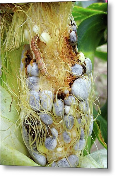 Maize Cob Infected With Corn Smut Metal Print by Eric Schmelz/us Department Of Agriculture