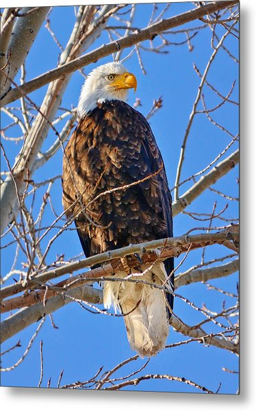 Majestic Bald Eagle Metal Print