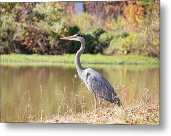 Majestic Great Blue Heron In Autumn Metal Print
