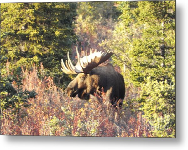 Majestic Moose Metal Print
