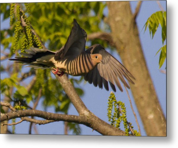Majestic Mourning Dove  Metal Print by David Lester