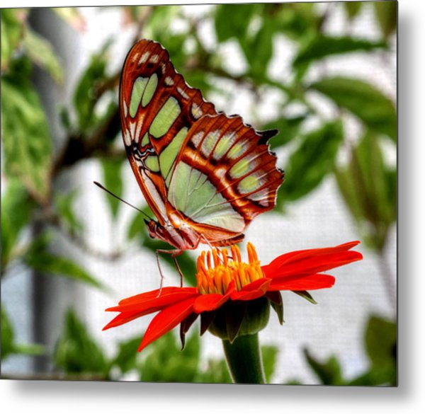 Malachite Butterfly On A Mexican Coneflower Metal Print