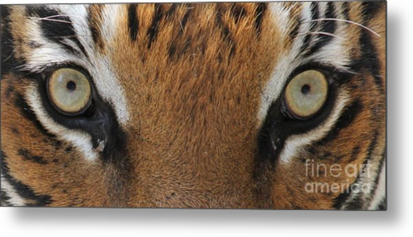 Malayan Tiger Eyes Metal Print