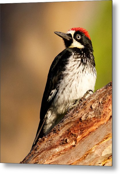 Male Acorn Woodpecker Metal Print