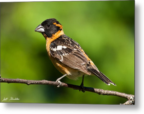 Male Black Headed Grosbeak In A Tree Metal Print