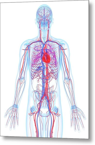 Male Cardiovascular System, Artwork Metal Print by Sciepro
