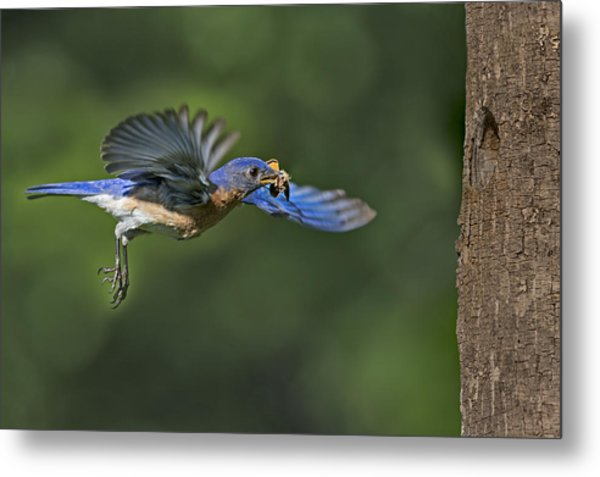 Male Eastern Bluebird Metal Print