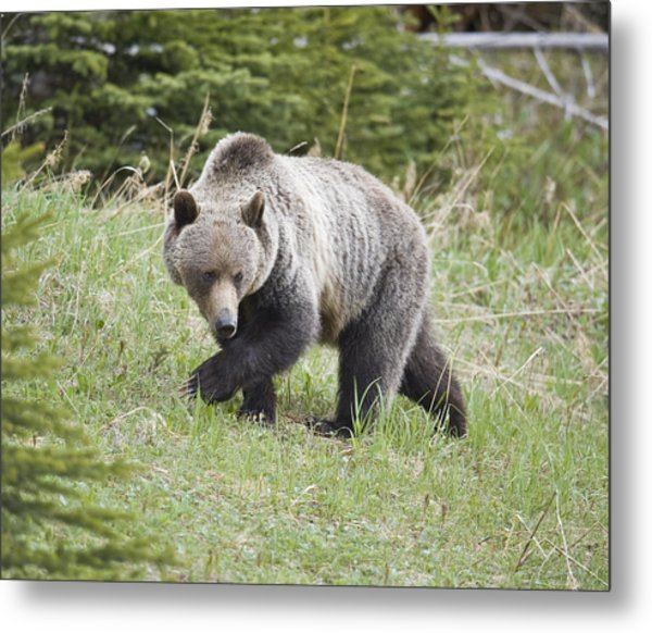 Male Grizzly In Kananaskis Metal Print