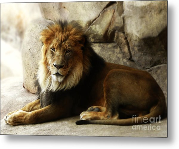Male Lion At Rest Metal Print