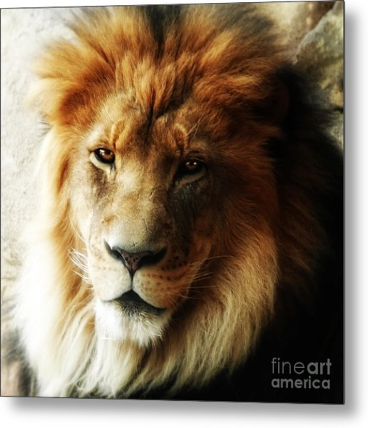 Male Lion Face Close Up Metal Print