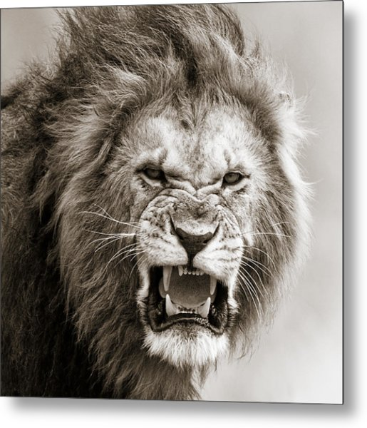 Male Lion I Masai Mara Kenya Metal Print