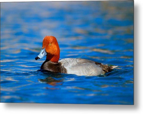 Male Red Head Duck Metal Print