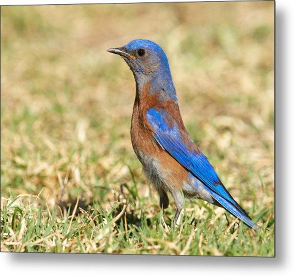 Male Western Bluebird Metal Print