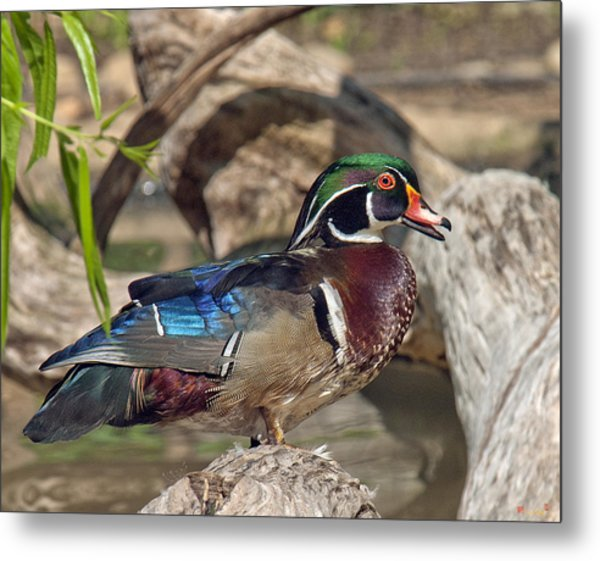 Male Wood Duck Dwf029 Metal Print
