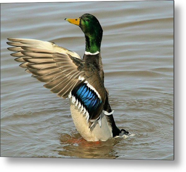 Mallard Drake Wings Metal Print