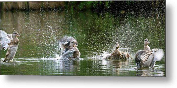 Mallard Ducks Metal Print by Steve Allen/science Photo Library