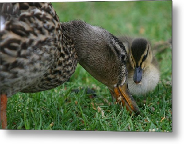 Mallard Hen And Duckling Metal Print