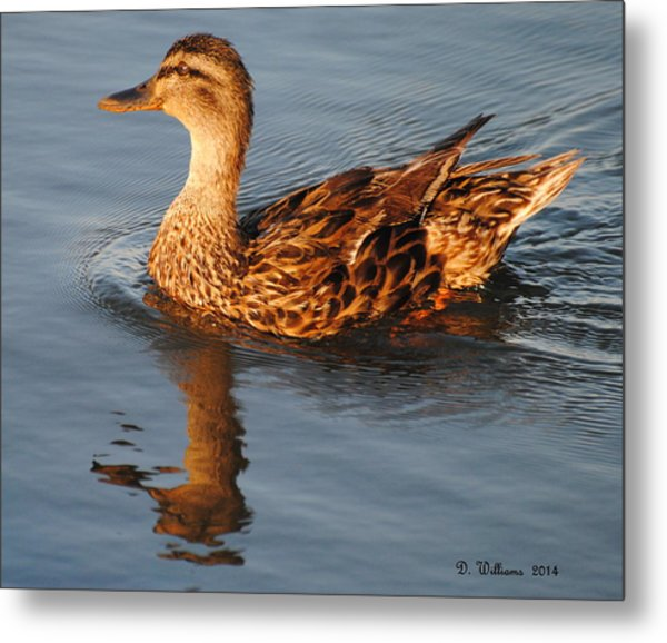 Mallard Hen Swimming Metal Print