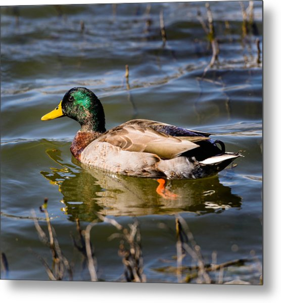 Mallard In Pond Metal Print