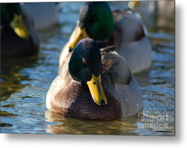 Mallard In The Morning Sun Metal Print
