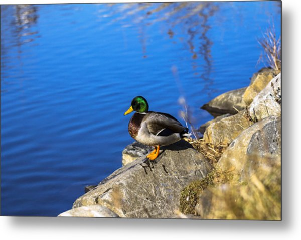 Mallard Looking Over His Domain Metal Print