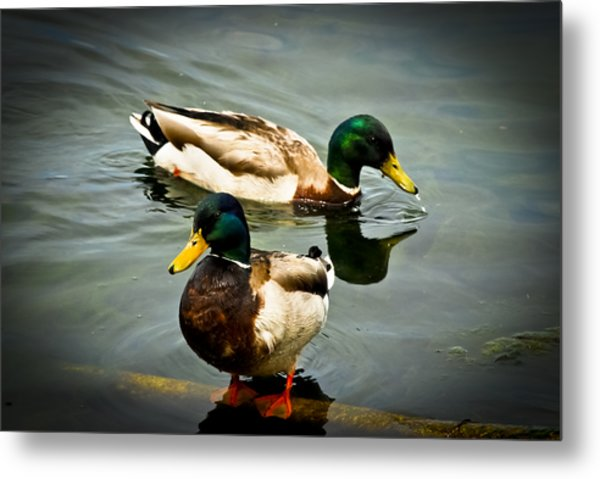 Mallards On Mendota Metal Print