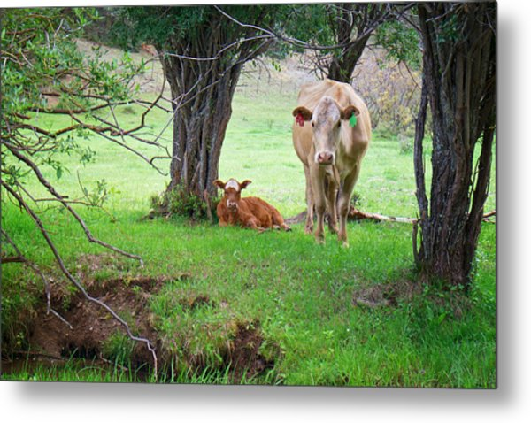 Mama Cow And Calf Metal Print