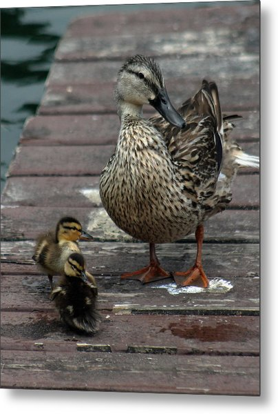 Mama Duck And Ducklings Metal Print