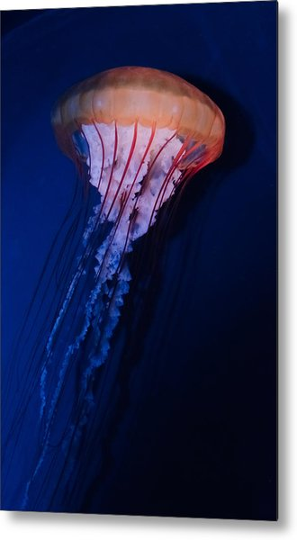 Man Of War Jellyfish Metal Print