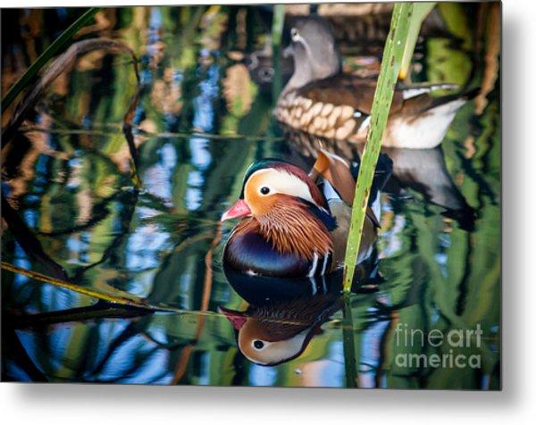 Mandarin Duck Reflections Metal Print