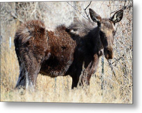 Mangy Moose Metal Print