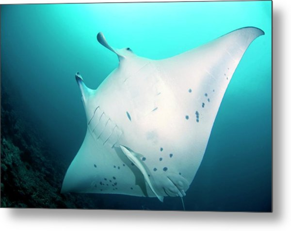 Manta Ray And Remoras Metal Print by Scubazoo/science Photo Library