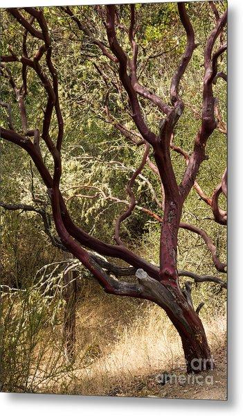 Manzanita Tree Metal Print