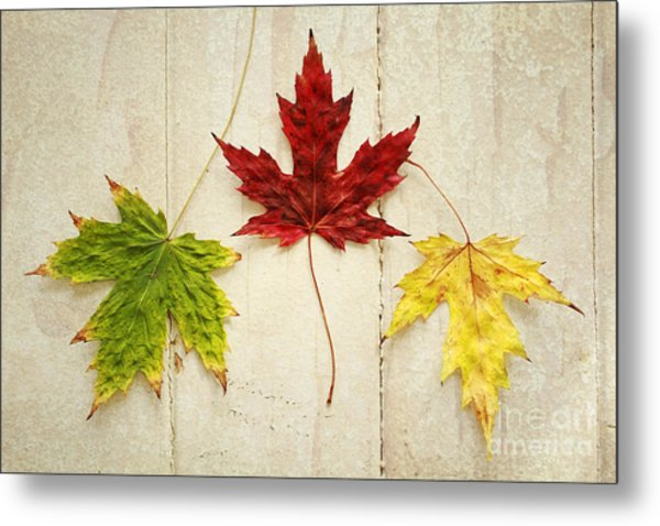 Maple Leave Metal Print by Isabel Poulin