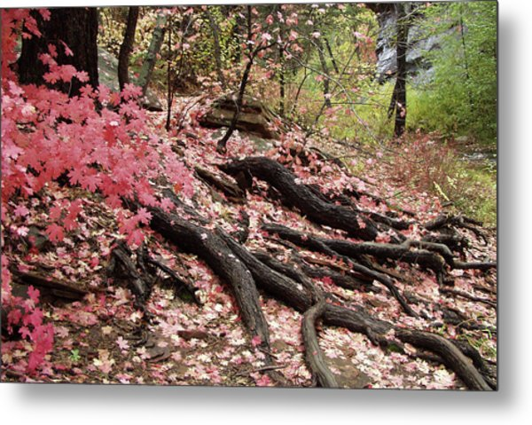 Maple Leaves And Tree Roots Metal Print