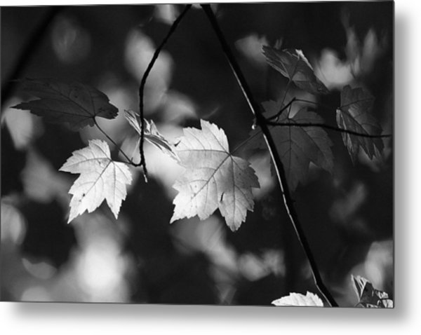 Maple Leaves In Black And White Metal Print