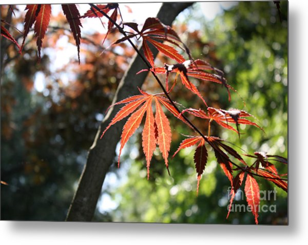 Maple On Pine Metal Print