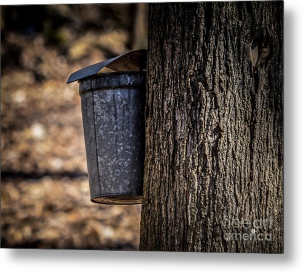 Maple Syrup Time Collecting Sap Metal Print