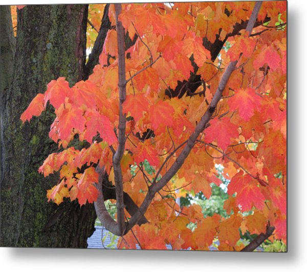 Maple Tree  Metal Print by Lyle Crump