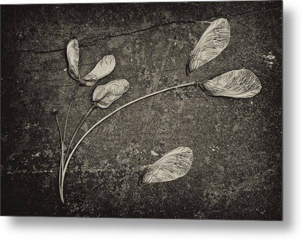 Maple Tree Whirlybirds Metal Print