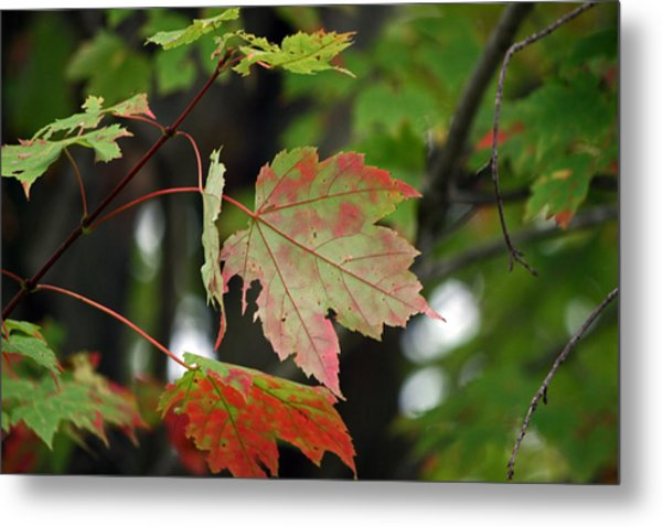 Maple Turning Metal Print