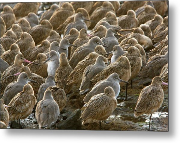 Marbled Godwits And Willets Metal Print
