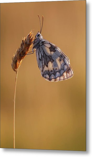 Marbled White Butterfly Metal Print