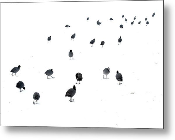 March Of The Coots Metal Print