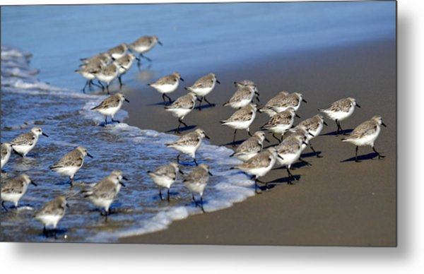March Of The Sandpipers Metal Print