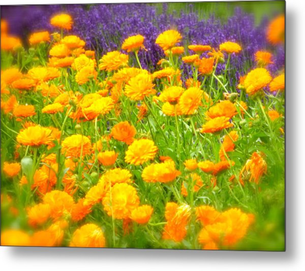Marigolds And Lavender Metal Print