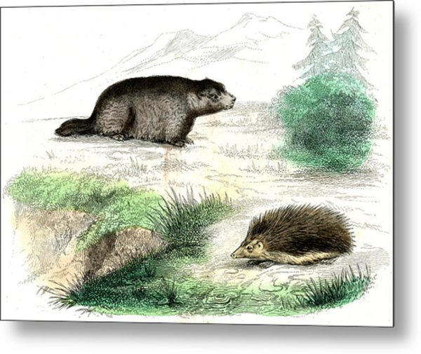 Marmot And Hedgehog Metal Print by Collection Abecasis