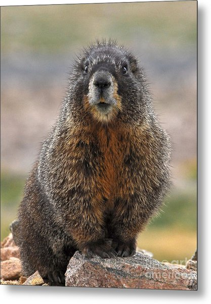 Metal Print featuring the photograph Marmot by Mae Wertz